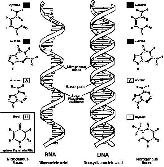 http://hu.wikipedia.org/wiki/F%C3%A1jl:RNA-comparedto-DNA_thymineAndUracilCorrec