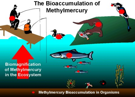 http://vceenviroscience.edublogs.org/files/2009/07/bioaccumulation.jpg