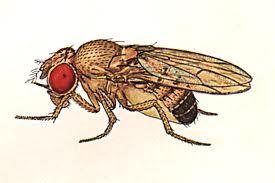 Drosophyla melanogaster