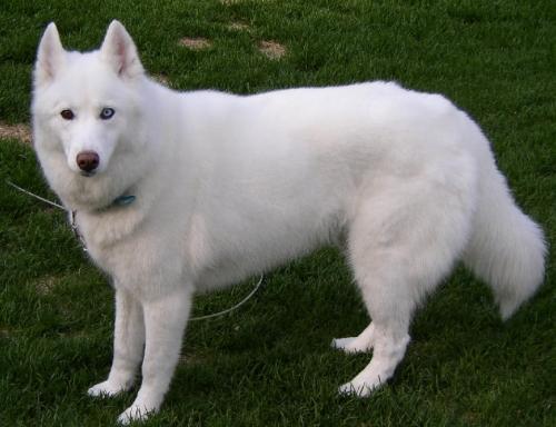 http://www.kutya-tar.hu/kutyak-regi/amerikai_eszkimo_kutya/amerikai_eszkimo_kuty